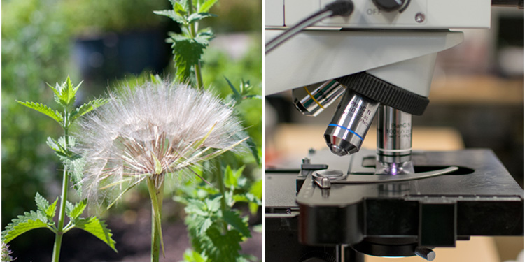 left: dandelion on the NUNM campus. Right: microscope.