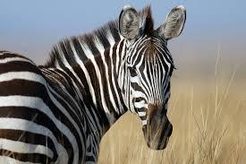 Zebra represents ehlers danlos syndrome