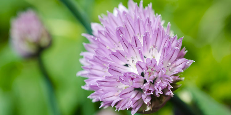purple flower from a chive plant