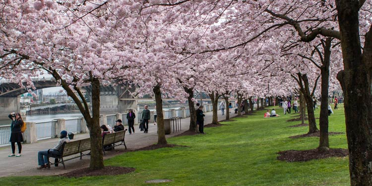 Portland waterfront with flowering cherry blossom trees